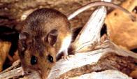 Ciervo Ratón