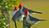 Descubren que los pájaros coordinan para cantar