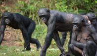 Bonobo. Foto: Pixabay