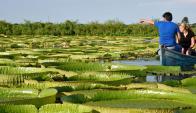 Lirios gigantes del Río Paraguay. Foto: AFP