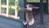 Le realizarán una autopsia al koala para evaluar las causas de su muerte. Foto: Facebook @KRQLD