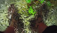 El pez doctor mide de 2 a 5 centímetros y no tiene dientes. Foto: Wikimedia Commons