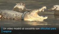 Un cocodrilo vive hace un año con un neumático en el cuello