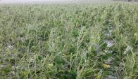 Los cultivos de soja se vieron afectados por la manga de granizo. Foto: Gentileza productores de la zona