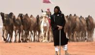 Los camellos más bellos del concurso de Arabia. Foto: AFP