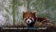 Pandas rojos, animales perseguidos por su ternura