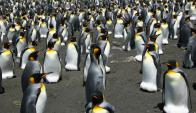 Pingüino rey. Foto: AFP