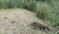 El gato montés fue liberado a su ambiente natural. Foto: Ministerio de Vivienda