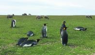 """La estrella: es el """"pingüino Rey"""" (casi extinto en el resto de la isla), aunque también hay pingüinos Magallánicos y Gentoo. Foto Mathias Da Silva"""