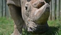 Muere el último rinoceronte blanco macho en Kenia. Foto: AFP