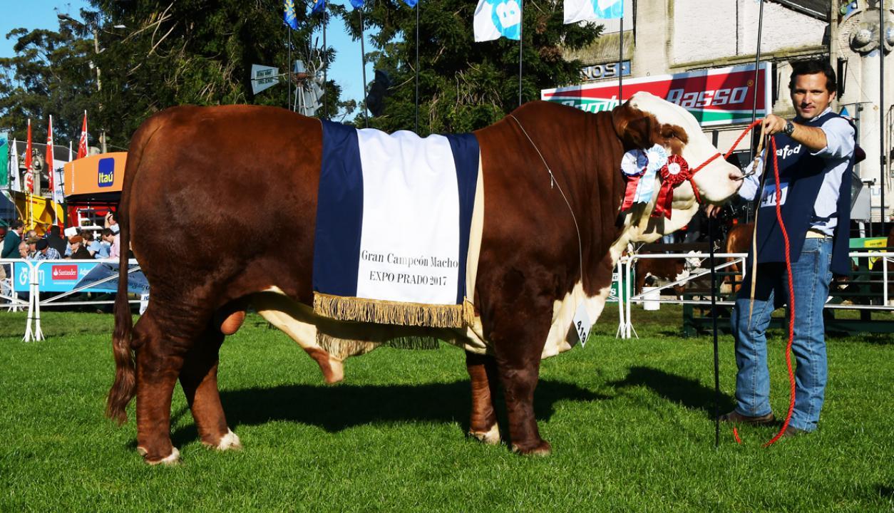 Gran Campeón en la Expo Prado. Foto: Ariel Colmegna