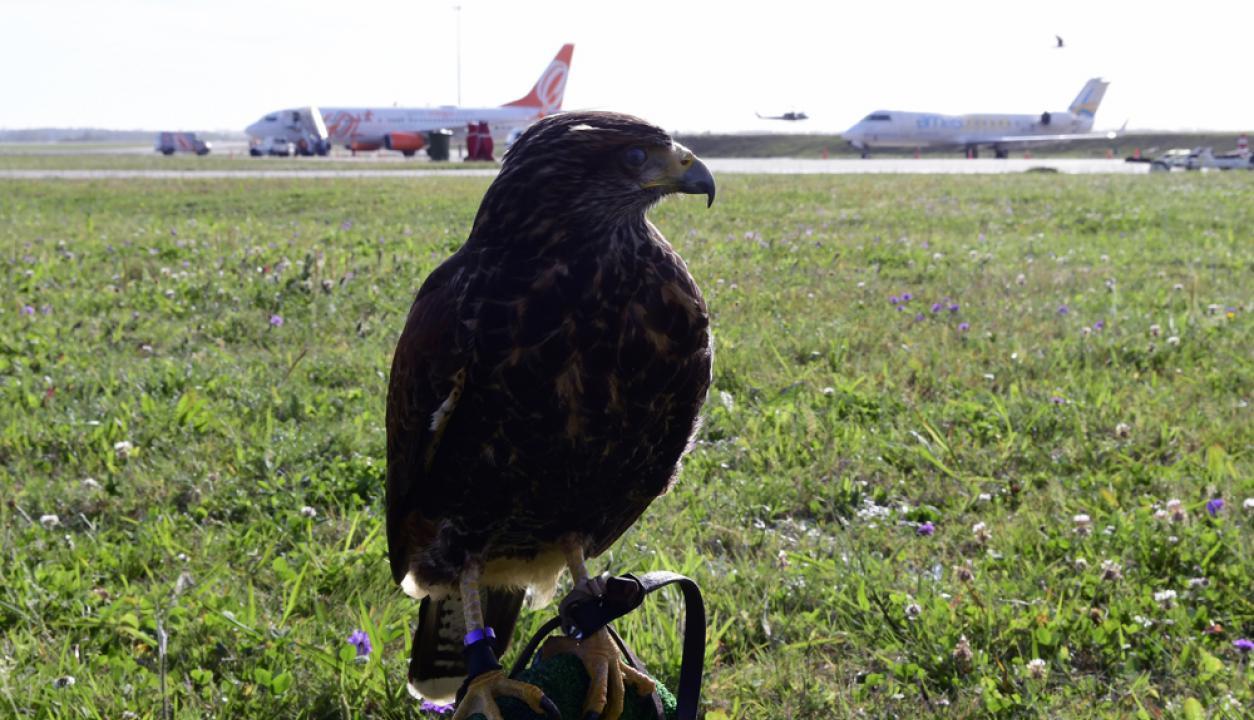 -Los cetreros y sus aves se encargas de que el Aeropuerto de Carrasco sea más seguro volar, están las 24 horas de servicio.  Foto: Marcelo Bonjour
