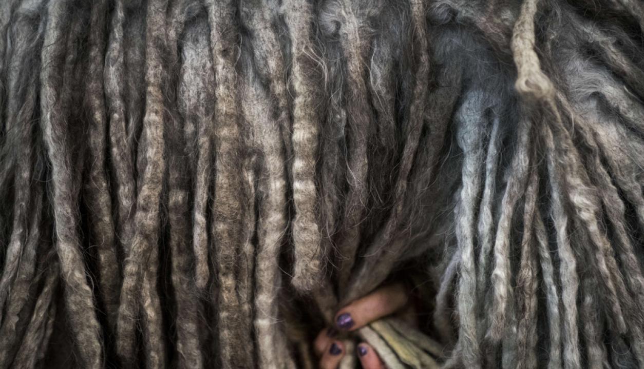 Los últimos aprontes de un pastor bergamasco Foto: AFP