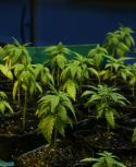 Cannabis, marihuana. Foto: Mateo Vázquez | archivo El País.