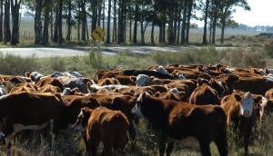 A la sombra, el ganado aumenta 300 gramos diarios más. Foto. Ariel Colmegna