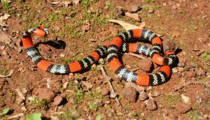 Serpiente de coral. Foto: Google