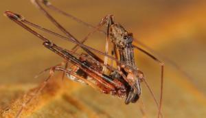 Arañas pelícano, asesinos milenarios que se comen a especies similares