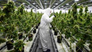 Plantación de marihuana. Foto: AFP