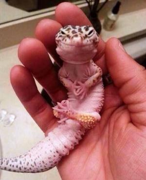 Gecko Leopardo. Foto: Viajes.