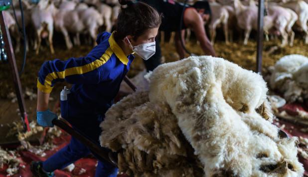Esquiladores uruguayos salvaron la zafra en España. Foto: AFP.